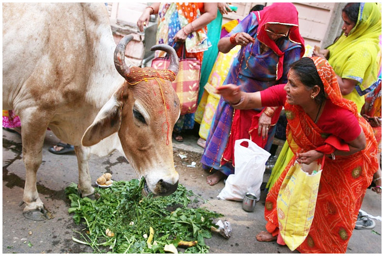 Indien Kuh